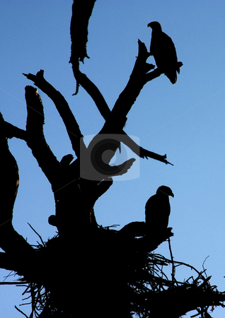 Bald Eagle Silhouette stock photo, Silhouetted bald eagles in a tree. by Marc Saegesser