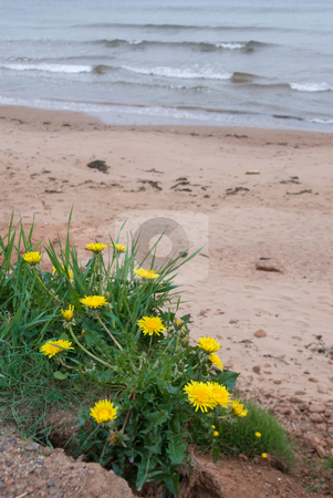 Beach Dandelions stock photo, A patch of grass with dandelions near a red sandy beach on Prince Edward Island by Maria Bell
