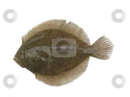 Psetta maxima stock photo, An image of isolated fresh flat fish by Ivan Montero
