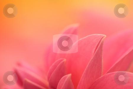 Warming Petals stock photo, Closeup of dahlia petals by Charles Jetzer
