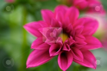 Painted Dahlia Dahlietta Betty stock photo, Dahlia Dahlietta Betty bloom close-up by Charles Jetzer