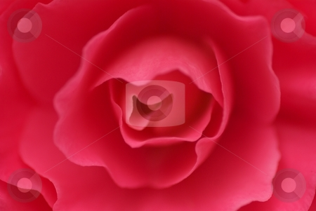 Eye of the Begonia stock photo, Closeup of the pink petals of a blooming Non-Stop Tuberous Begonia by Charles Jetzer