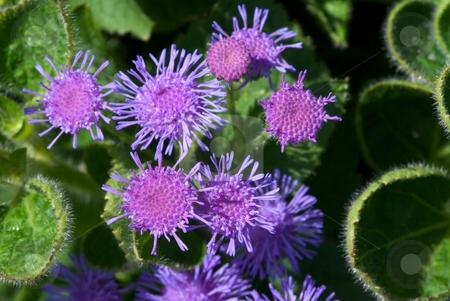 Artist Blue Starburst stock photo, Close-up of blooming Ageratum Artist Blue by Charles Jetzer