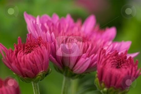 Mum Bloom Trio stock photo, Close-up of 3 blooming chrysanthemum by Charles Jetzer