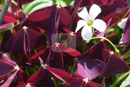 Royal Velvet Shoots stock photo, Blooming Charmed Velvet Oxalis by Charles Jetzer
