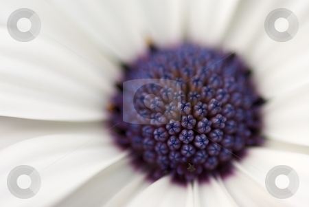 Soprano White Blossom Macro stock photo, Macro of Osteospermum Soprano White Bloom without pollen by Charles Jetzer