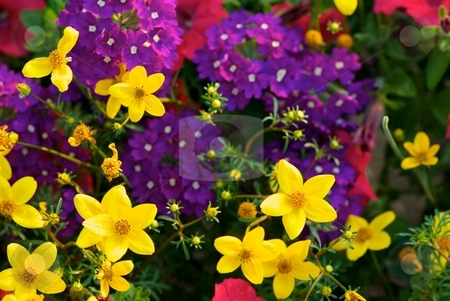 Golden Hour Mix stock photo, Close-up of a mix of Yellow Bidens Solaire Purple Verbena and Pink Blooms cast under golden hour light by Charles Jetzer