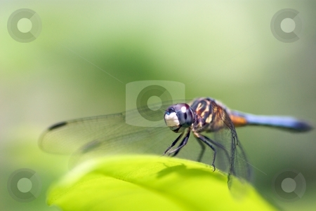 Dragonfly Series I stock photo, Side view of a Dragonfly perched on a leaf by Charles Jetzer
