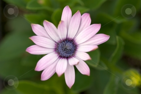 Perfection - Imperfection stock photo, Close-up of a not quite perfect blooming Soprano Osteospermum by Charles Jetzer