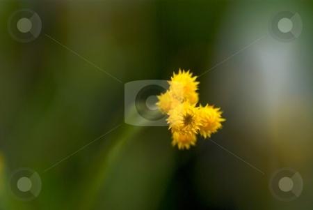Starburst Bloom stock photo, Close-up of yellow blooming Chrysocephalum Flambe. by Charles Jetzer