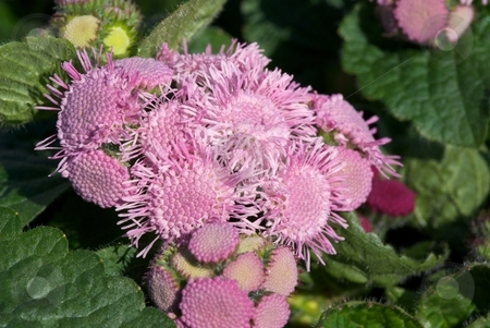 Pink Icicles  stock photo, Close-up of a bunch of blooming Rose Ageratum (Ageratum Hybrid) Artist flower heads by Charles Jetzer