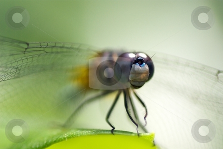 Dragonfly Series I stock photo, Dragonfly perched on a leaf by Charles Jetzer