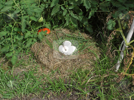 Eggs in a nest stock photo, A nest with five eggs is neatly tucked in and amongst a bush of tomato plants. by Rebecca Mosoetsa