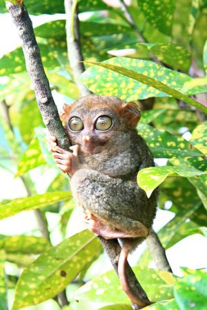 Tarsier monkey stock photo, Philippine Tarsier monkey clinging on a tree by Jonas Marcos San Luis