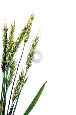 Winter Wheat stock photo, A large farm field of winter wheat. by Robert Byron