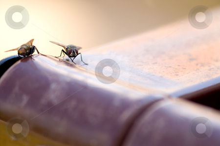 House Fly stock photo, A dirty nasty disease ridden house fly. by Robert Byron
