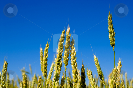 Winter Wheat stock photo, A large farm field of winter wheat. by Robert Byron