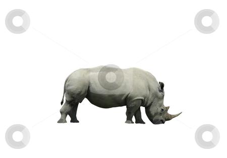 Rhinoceros isolated on white stock photo, Horned rhinoceros isolated on a white background by Claudia Van Dijk