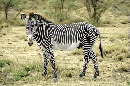 Grevy zebra in the desert stock photo, Zebra standing in the desert of Kenya by Claudia Van Dijk