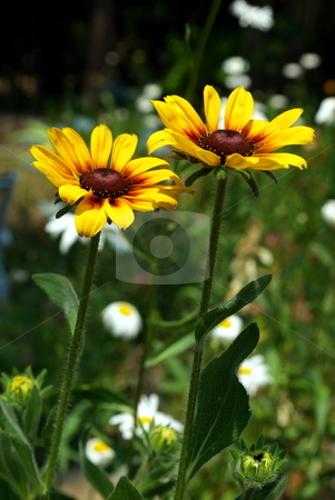 Black-Eyed Susan stock photo, Two Black-Eyed Susan flowers on a field of green. by Lynn Bendickson