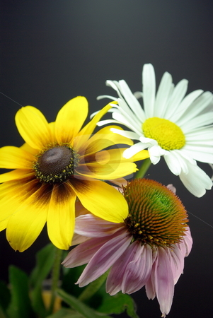 Purple Coneflower Echinacea purpurea (Asteraceae) stock photo, Purple Coneflower, Daisy and a Black-eyed Susan in a simple arrangement. by Lynn Bendickson