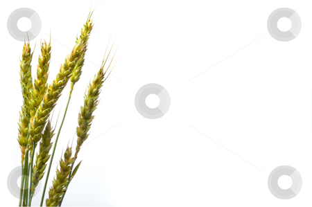 Wheat stock photo, A close-up image of the winter wheat plant. by Robert Byron