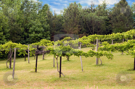 Vineyard stock photo, A lush vineyard in the spring of the year. by Robert Byron