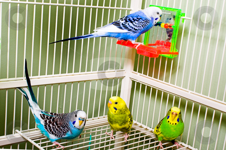 Parakeets stock photo, A set of colorful and exotic tropical parakeets. by Robert Byron
