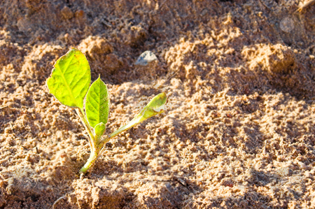 Tobacco Plant stock photo, A healthy tobacco plant on a farm field. by Robert Byron