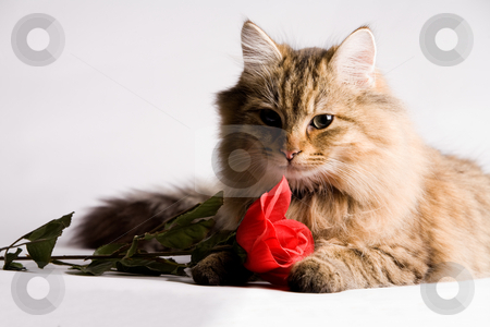 Sweet little cat with valentine rose stock photo, Sweet little cat with a red rose for valentines day. by Frenk and Danielle Kaufmann