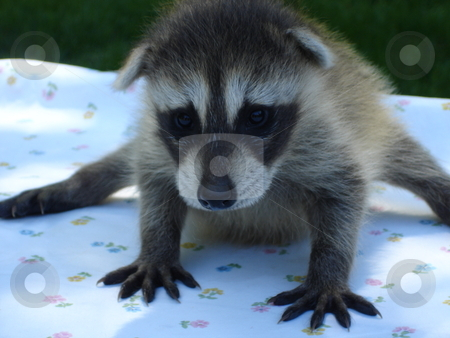Raccoon stock photo, Little Raccoon by Ritu Jethani