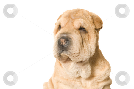 Looking sharpei pup stock photo, A young sharpei pup posing in the studio by Frenk and Danielle Kaufmann
