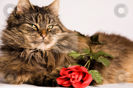 Cat wiiyh valentine rose stock photo, Fluffy cat is waiting with a valentine rose by Frenk and Danielle Kaufmann