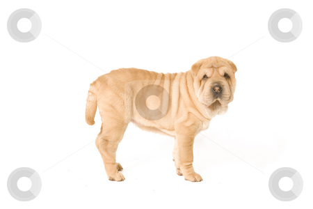 Standing sharpei pup stock photo, A young sharpei pup standing on the studio floor by Frenk and Danielle Kaufmann