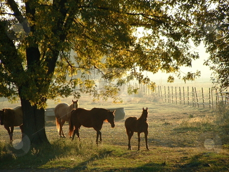 Horses at Dawn's Light stock photo, Morning sun bathes horses, trees, vegetation, fences, and land with a surreal light on a northeast Iowa field. by Dennis Thomsen