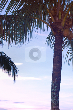 Florida Palm Tree stock photo, Florida Palm tree in the morning by Robert Cabrera