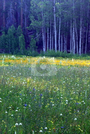 Sierra Meadow At Early Morning stock photo, A sierra meadow covered with spring wildflowers. by Lynn Bendickson