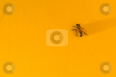 Bee on Yellow stock photo, A yellow jacket or honey bee on a yellow background. by Robert Byron