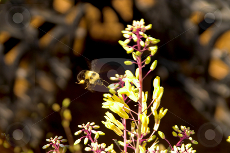 Bumble Bee stock photo, A bumble bee in flight over flowers. by Robert Byron