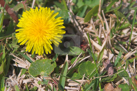 Dandelion stock photo, A springtime dandelion weed in a yard. by Robert Byron