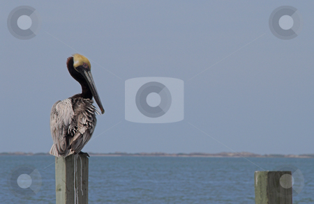 Perched Pelican stock photo, A perched pelican overlooking the ocean on a summer day. by Robert Byron