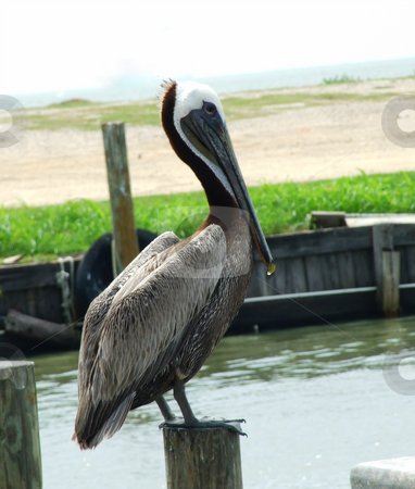 Brown Pelican stock photo, Brown Pelican on fishing pier by Marburg