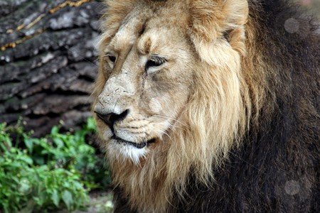 Noble Lion portrait stock photo, Beautiful portrait of noble male Lion. by Martin Crowdy