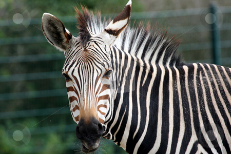 Portrait of Zebra stock photo, Portrait of a zebra looking at camera. by Martin Crowdy