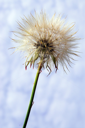 Dandelion stock photo, A springtime dandelion weed against a cloudy blue sky. by Robert Byron