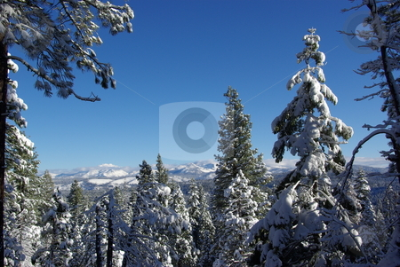 High Sierra Forest stock photo, Trees covered in fresh snow looking towards the Sierra Crystal Range by Lynn Bendickson