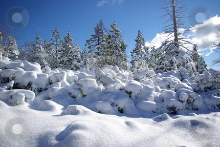 High Sierra Forest stock photo, Trees covered in fresh snow in the Sierra Crystal Range by Lynn Bendickson