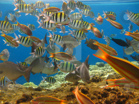 Tropical fishes stock photo, Tropical fishes and coral reef by Roman Vintonyak