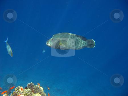 Napoleon fish stock photo, Tropical fish and coral reef by Roman Vintonyak