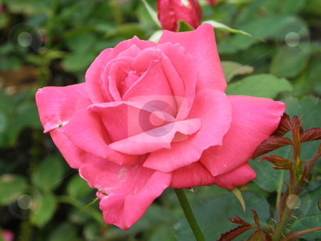 Pink Rose Flowers in garden stock photo,  by Ritu Jethani